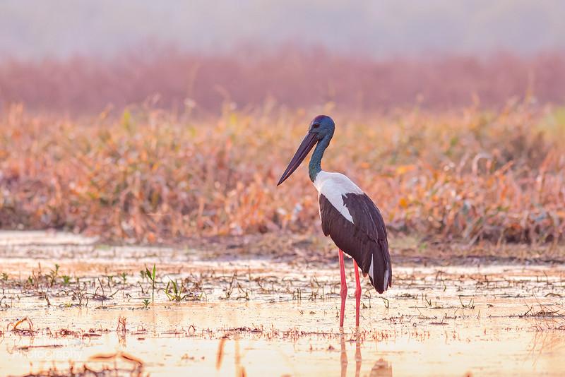 Black-necked Stork (Jabiru)