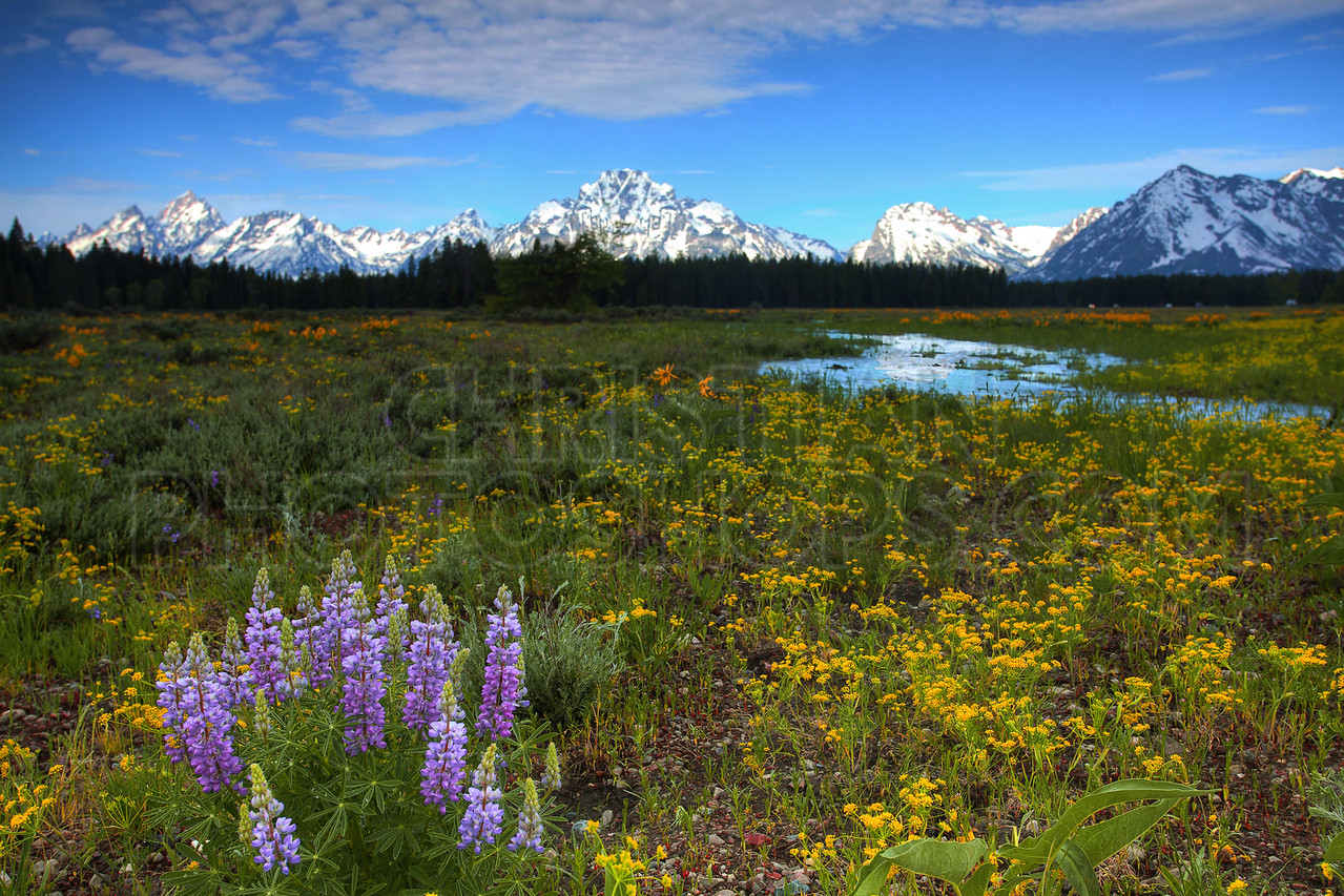 Lupine at the Grand Tetons