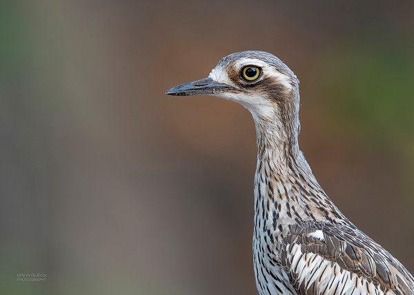 Bush Stone-curlew, Townsville, QLD, Jan 2020-1