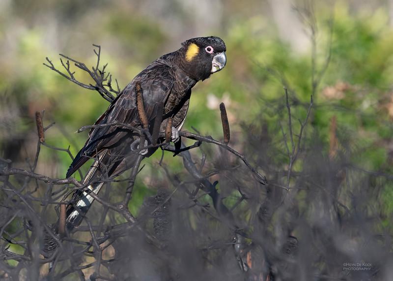 Yellow-tailed Black Cockatoo, Red Rock, NSW, Jul 2018-2