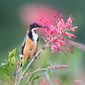 Eastern Spinebill, Nerang, QLD, Jun 2019-1