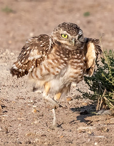 Burrowing Owl 21-73