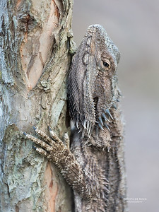 Bearded Dragon, Gold Coast, Aus, Nov 2017-2