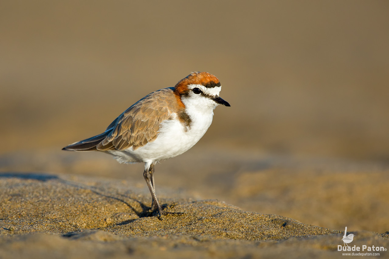 Red-capped Plover - Male