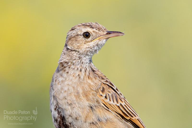 Brown Songlark (Female)