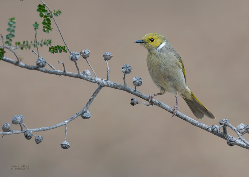 White-plumed Honeyeater, Wangaratta, VIC, Oct 2018-3