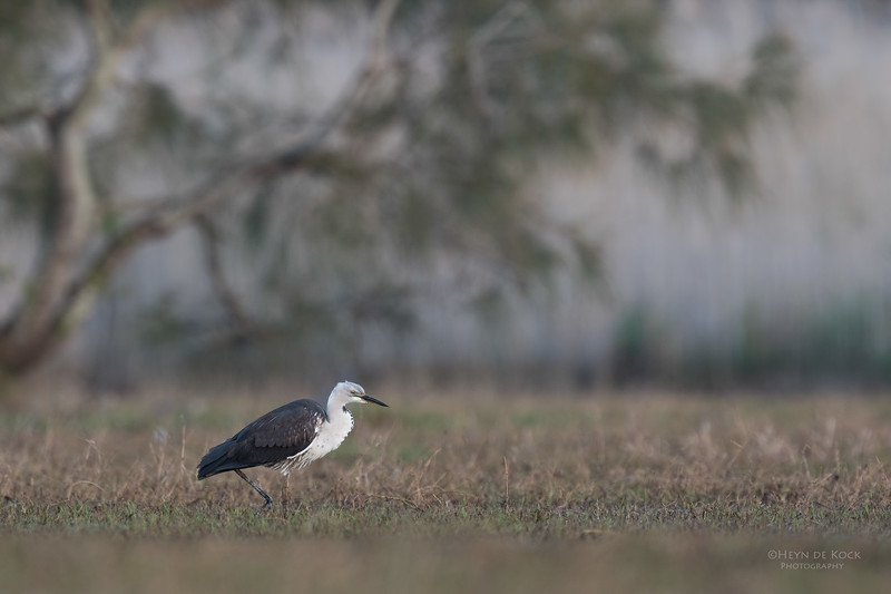 White-necked Heron, Nathan Rd Wetlands, Brisbane, QLD, Sept 2017-2