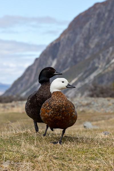 Paradise Shelduck (NZ)