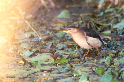 Black-backed Bittern, Sandy Camp Road Wetlands, QLD, Aus, Feb 2019-5