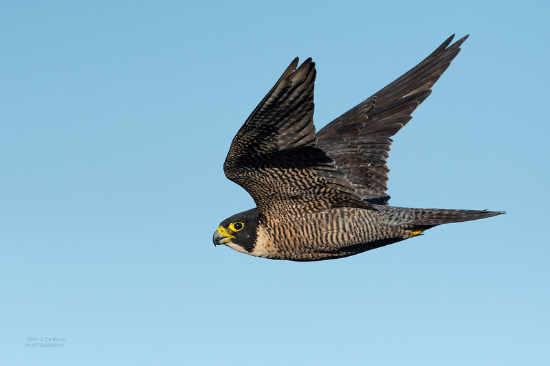 Peregrine Falcon, Dee Why, Sydney, NSW, Oct 2018-2