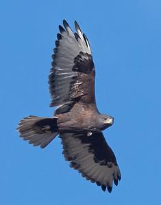 Ferruginous Hawk-223