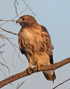 Red Tailed Hawk-159
