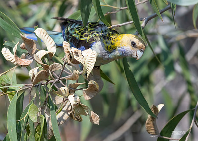 Pale-headed Rosella, Nerang, QLD, Nov 2019