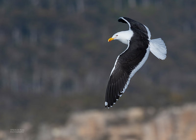 Kelp Gull, Eaglehawk Neck Pelagic, TAS, Dec 2019-1