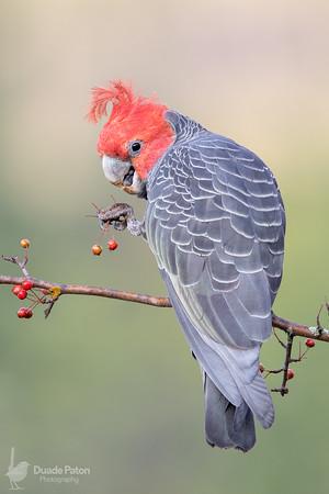 Gang-gang Cockatoo