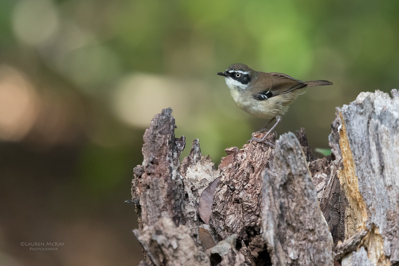 White-browed Scrubwren, Eungella NP, QLD, Aus, Nov 2017-2
