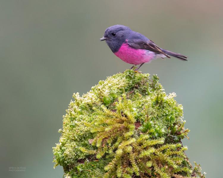 Pink Robin, Otway Ranges, VIC, Oct 2018-8