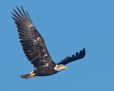 Bald Eagle-98