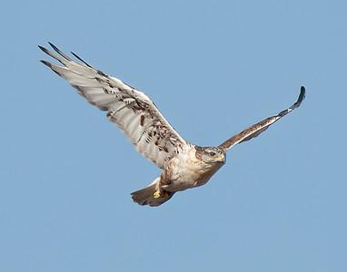 Ferruginous Hawk-218