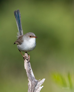 Superb Fairy-wren, Nerang, QLD, Jun 2019-2