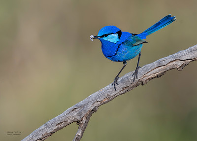 Splendid Fairywren, Round Hill NR, NSW, Oct 2018-2