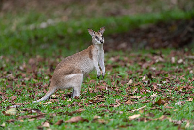 Agile Wallaby, Julatten, QLD, Dec 2014-1