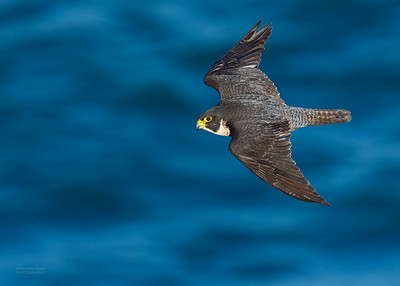 Peregrine Falcon, Dee Why, Sydney, NSW, Oct 2018-3