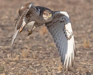 Ferruginous Hawk-220
