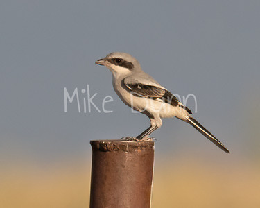 Loggerhead Shrike-24