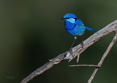 Splendid Fairywren, Round Hill NR, NSW, Oct 2018-7
