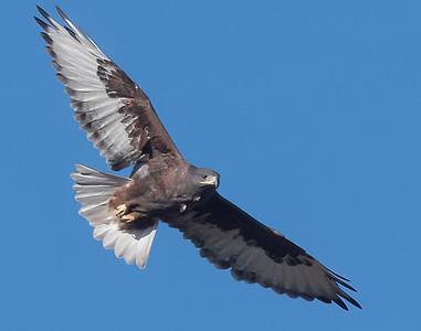 Ferruginous Hawk-222