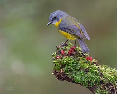 Eastern Yellow Robin, Otway Ranges, VIC, Oct 2018-6