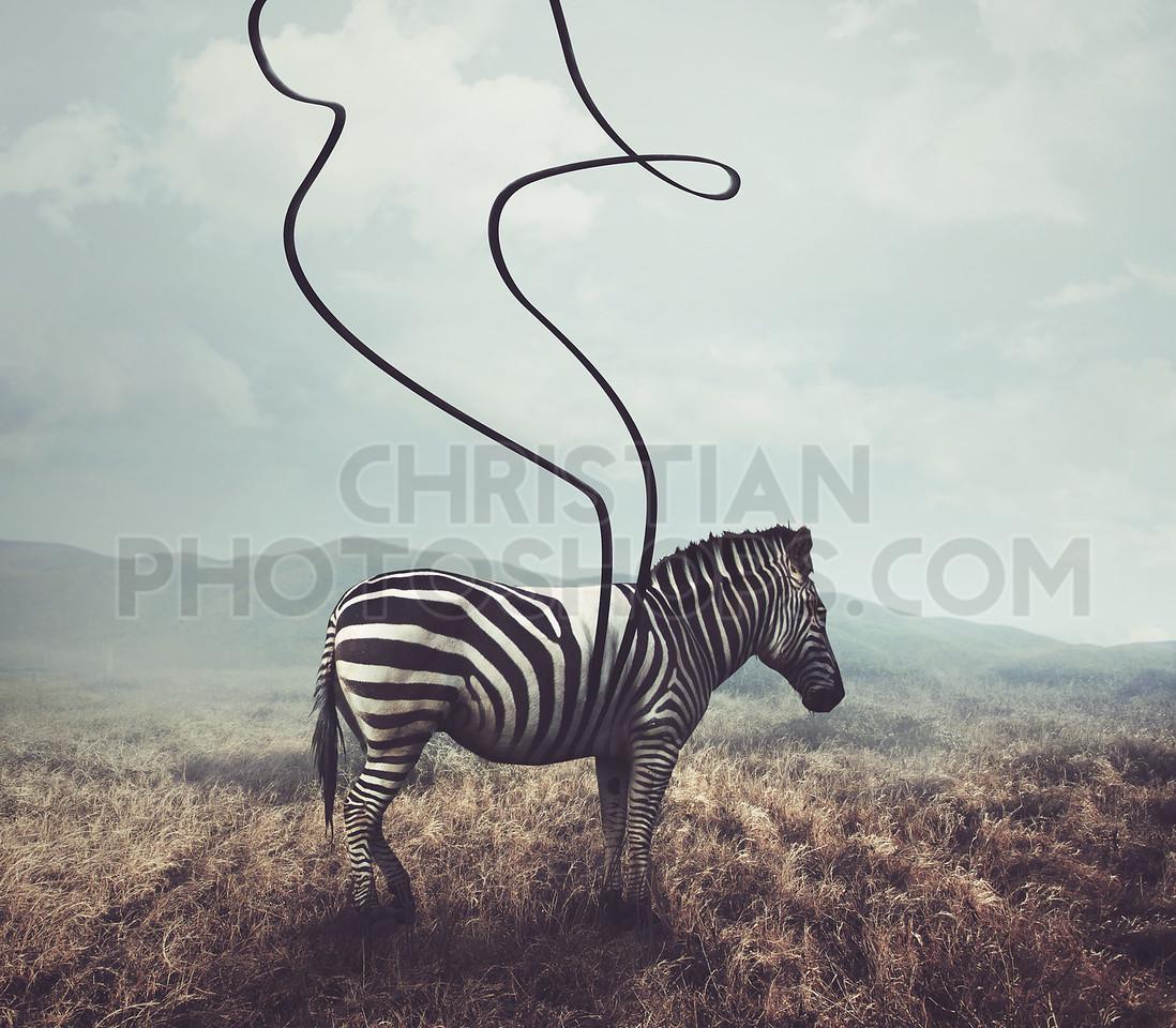 Zebra and stripes