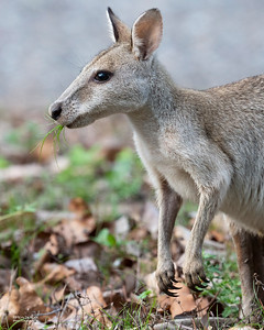 Agile Wallaby, Alligator Creek, QLD, Dec 2020-1