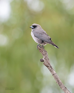 Black-faced Woodswallow, Woodstock, QLD, Jan 2020-4