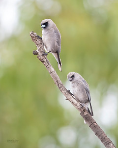 Black-faced Woodswallow, Woodstock, QLD, Jan 2020-1