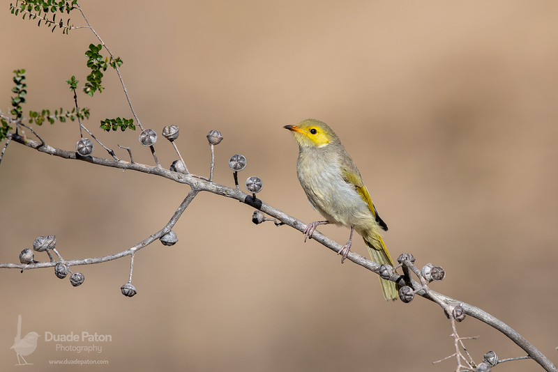 White-plumed Honeyeater - Juvenile