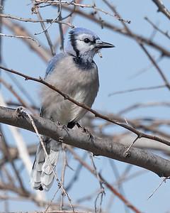 Blue Jay-6