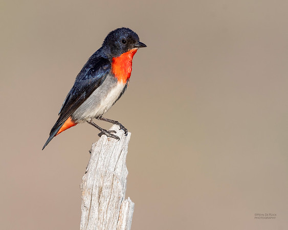 Mistletoebird, Cocoparra National Park, NSW, Oct 2018-3