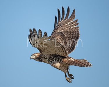 Red Tailed Hawk-157