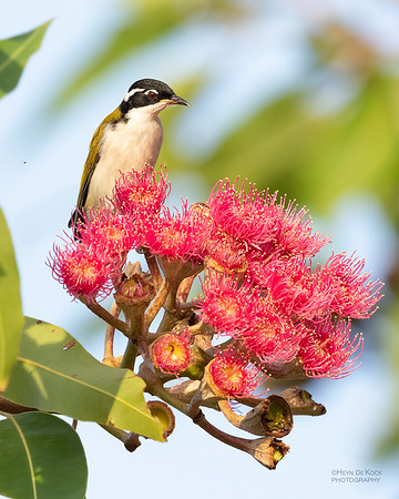 White-throated Honeyeater, Townsville, QLD, Jan 2020-1