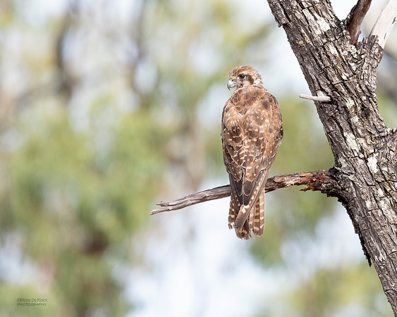 Brown Falcon, Hidden Valley, QLD, Jan 2020-1