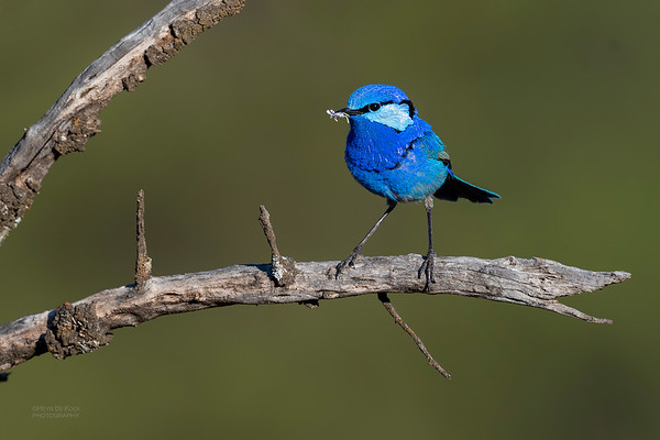 Splendid Fairywren, Round Hill NR, NSW, Oct 2018-11