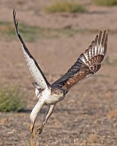 Ferruginous Hawk-221