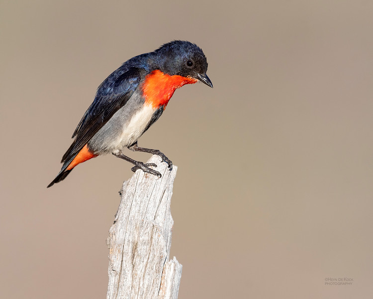 Mistletoebird, Cocoparra National Park, NSW, Oct 2018-1