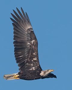 Bald Eagle-99