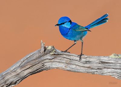 Splendid Fairywren, Round Hill NR, NSW, Oct 2018-1