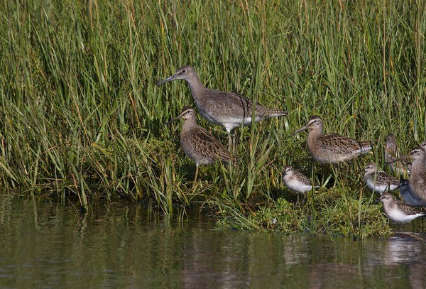 willet, short billed dowitcher and semipalmated sandpiper
