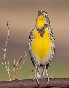 Western Meadowlark-10