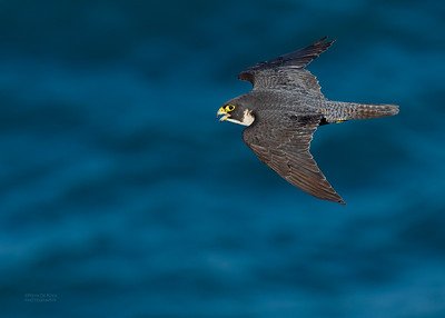 Peregrine Falcon, Dee Why, Sydney, NSW, Oct 2018-1